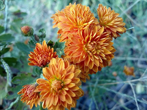 mums by pdecell