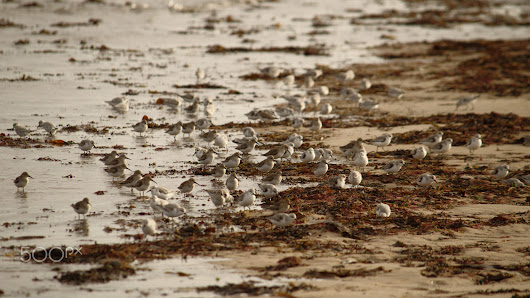 Sanderlings Take The Beach