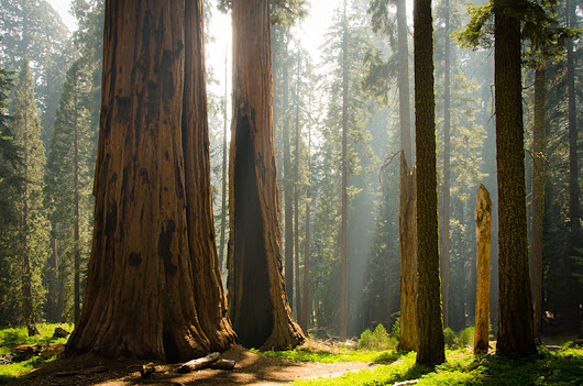The Magic of the Giant Sequoia
