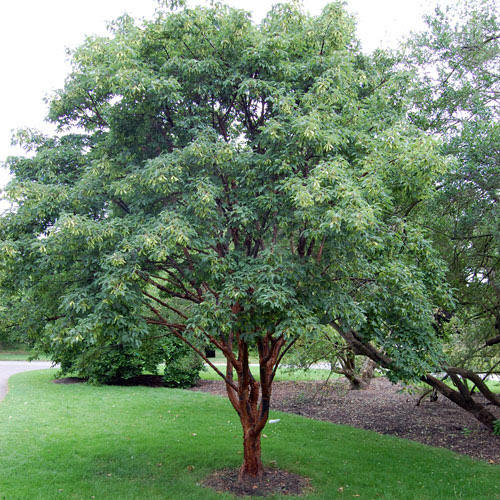 acer greseum trees ireland clarenbridge online garden centre