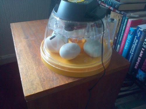 duck eggs in incubator May 13