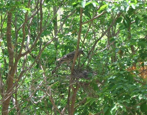 Bowerbird mother