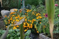 my marigolds