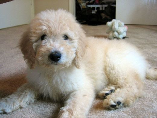 goldendoodle puppy pictures. Your Puppy#39;s Schedule amp;