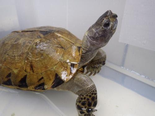 瀕危的亞洲龜類——緬甸山龜