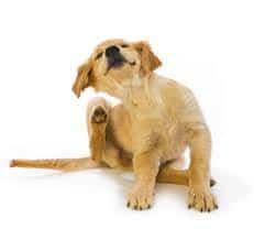 Menyelesaikan masalah kebiasaan menggaruk yang dilakukan anjing peliharaan Sobat mungkin s 11 Cara Menghilangkan Gatal pada Anjing