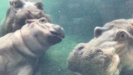 Things We Saw Today: Fiona the Hippo Reunites With Both Her Parents