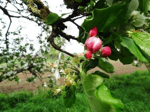 Apfelblüte nah