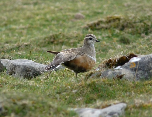12434 - Dotterel at Cefn Cadlan