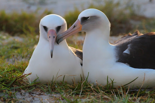 The world's oldest bird is ready to do the unthinkable – have yet another baby