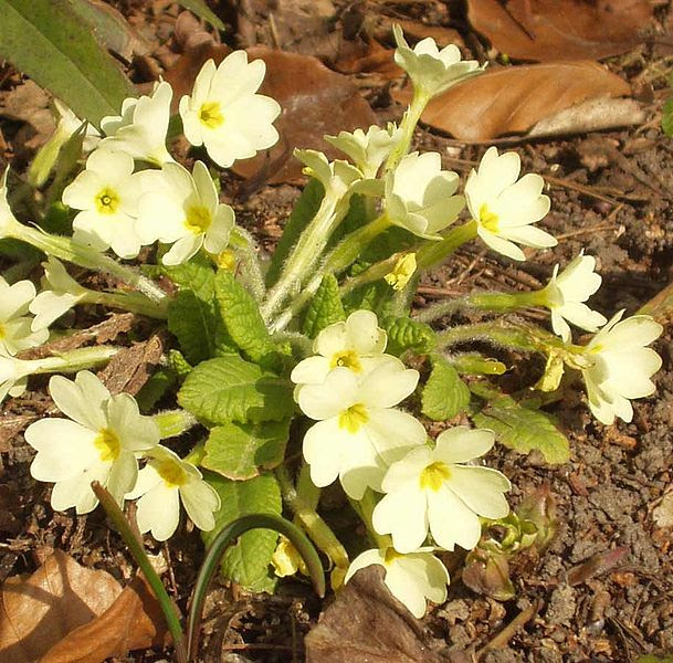 Fichiér:Primula vulgaris.jpg