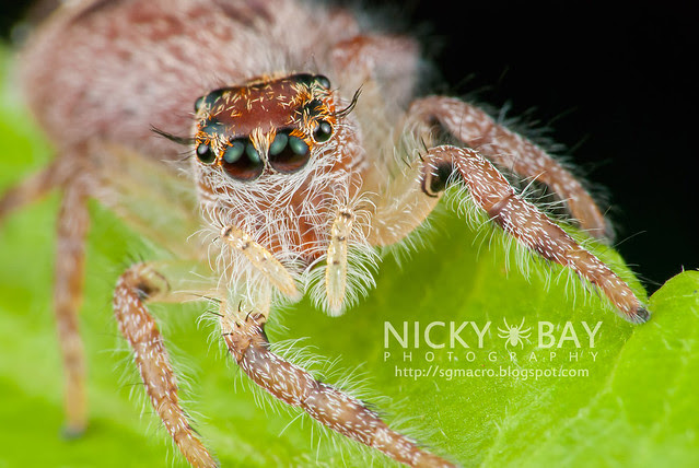 Jumping Spider (Salticidae) - DSC_8029