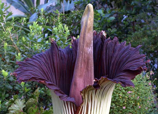 Corpse Flowers Near To Blooming