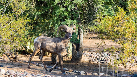 Bighorn sheep surviving, possibly thriving, in Tucson's Catalina Mountains