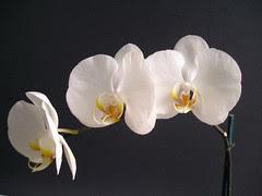 Phalaenopsis Casablanca x (Hisa nasu x Atien Kaala)