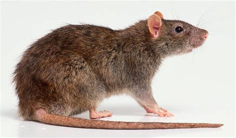 BioTechniques   Stranger Than Fiction: To Kill a Rat