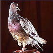 Cher Ami - Wikipedia, the free encyclopedia