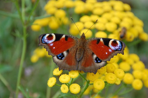 Predictable Peacock on Tansy