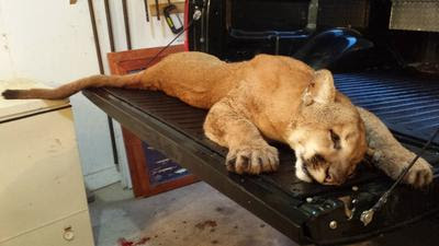 State agency defends conservation officer who killed cougar on farm
