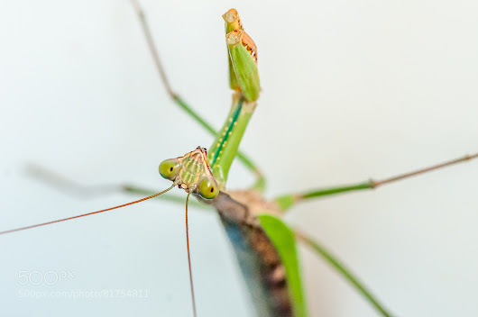 Mantis Inverted