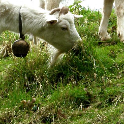 Tinkling Goat