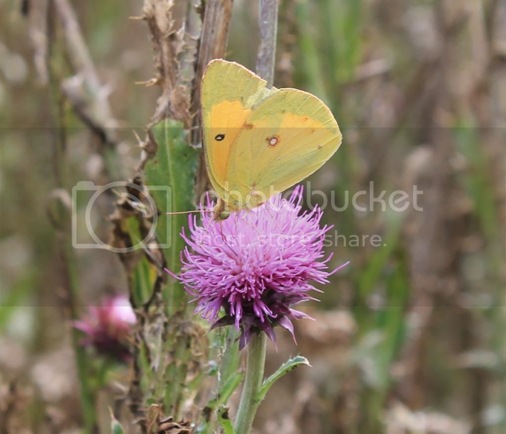 Clouded Sulphur butterfly photo IMG_3887_zpsa5b52d68.jpg