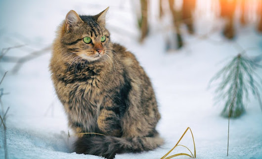 Biggest Cats - 7 Largest Cat Breeds | ValeofCats.com
