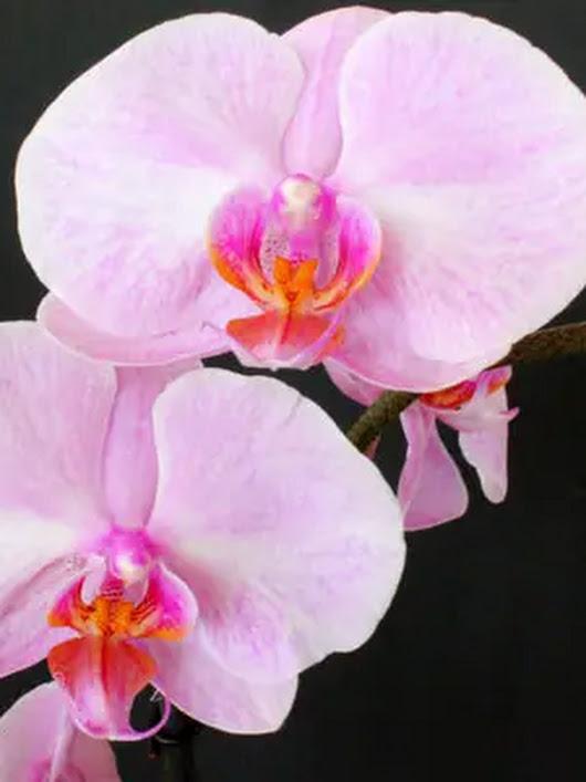 orchideen pflegetipps bilder und infos google. Black Bedroom Furniture Sets. Home Design Ideas