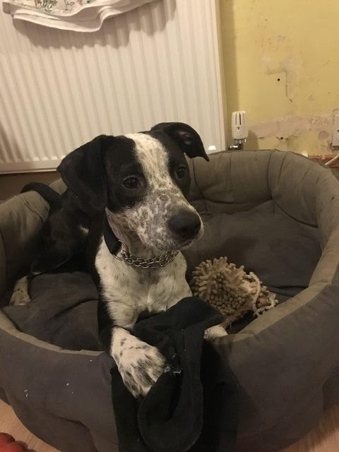 Buddy – 15 month old male Pointer Cross