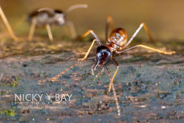 Termite (Termitodea) - DSC_1330