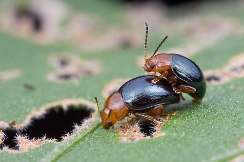 leaf beetles mating IMG_0410 copy