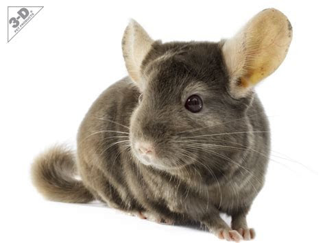 Chinchilla   3D® Pet Products3D® Pet Products