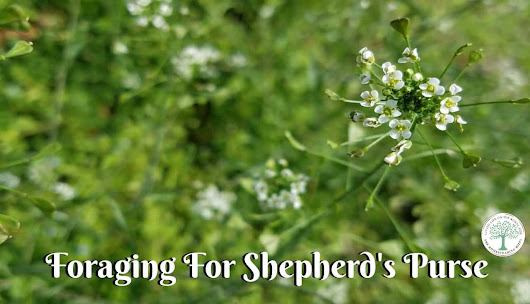 Foraging For Shepherd's Purse