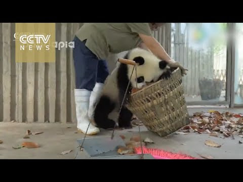 14 Video Tingkah Panda Yang Begitu Menggemaskan, Nomer 14 Paling Ngegemesin!