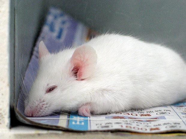 Ratos são um dos exemplos mais comuns de cobaias usadas em testes de toxicidade de produtos cosméticos e medicamentos.