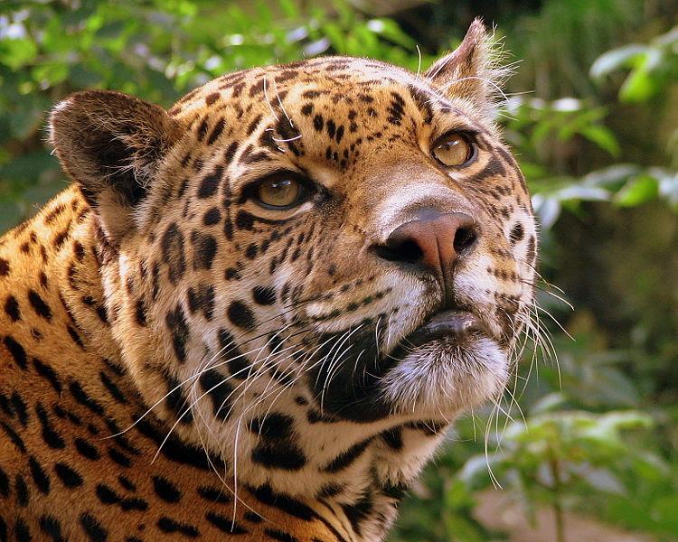 File:Jaguar at Edinburgh Zoo.jpg