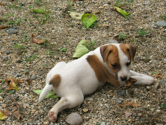 Parson Russell Terrier Puppy and Dog Information