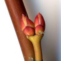 Knospe von Acer palmatum