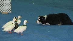 Dog Show 051 (2)