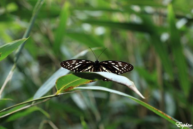 白條斑蔭蝶