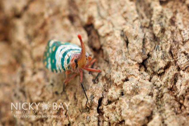 Lantern Bug (Pyrops candelaria) - DSC_3781