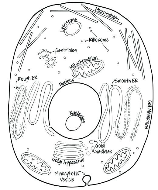 Amimal Cell Coloring sheet.jpg - Animal Cell Coloring http www biology  corner.com worksheets ce sheets cellcolor old html Mrs Potter Animal Cell |  Course Hero | 622x520