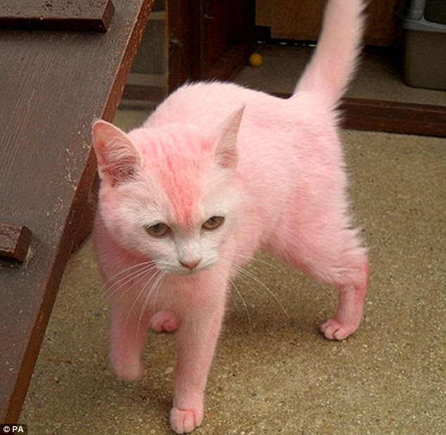 Sick prank: Yobs dyed the white shorthair cat and threw her over a fence in Swindon