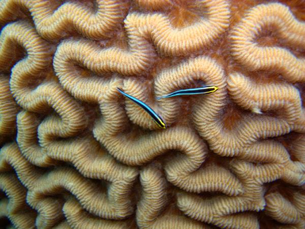 brain coral fishies
