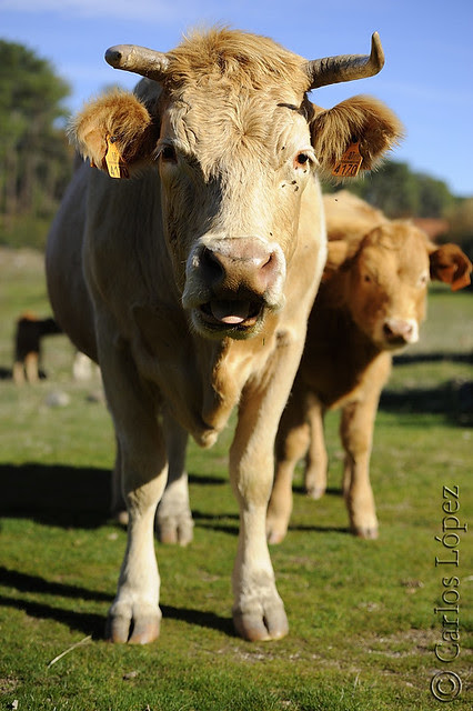 Vacas 08