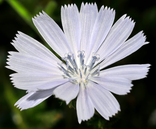 Chicory in the Goatmother's Garden