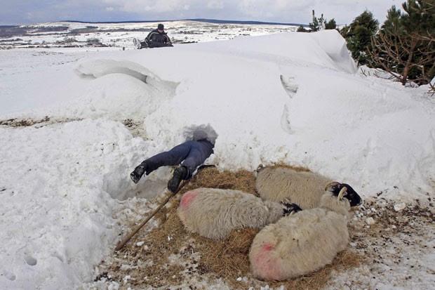 Donald O'Reilly precisou cavar na neve para resgatar suas ovelhas que ficaram 'enterradas' após uma nevasca (Foto: Cathal McNaughton/Reuters)