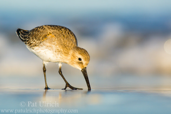 Dunlin feeding in Massachusetts with shallow DOF