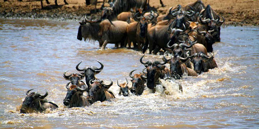 Masai Mara Wildebeest Migration Safaris, Kenya migration safaris tour