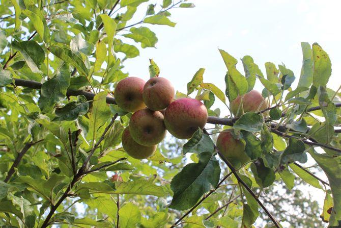 photo 30-bretagne jardin fruits prune poire pomme_zpsyxygx5oy.jpg